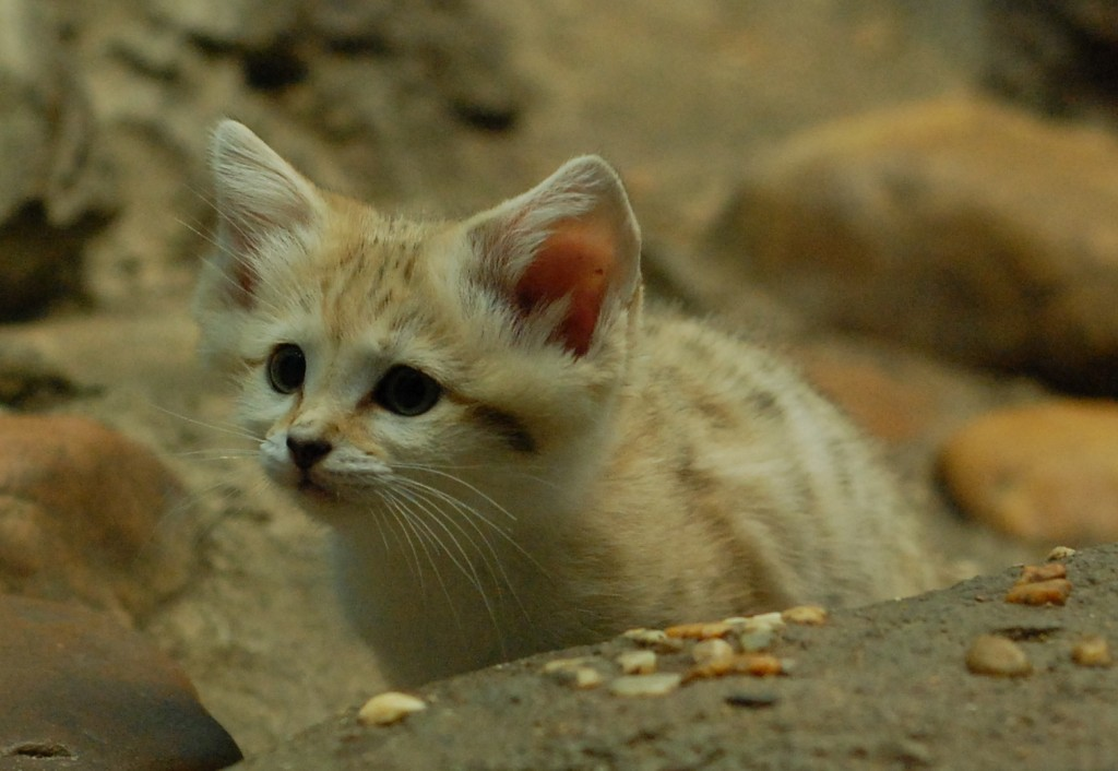 Curious Sand Cat Kitten