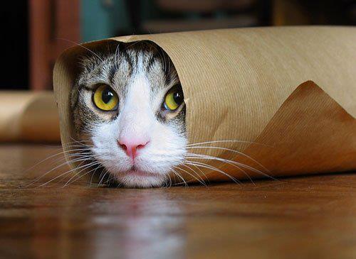 Cat Burrito